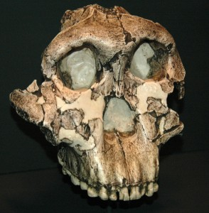 OH5 skull from Olduvai