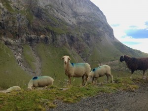 2014-09-16 17.07.45 sheep Troumouse