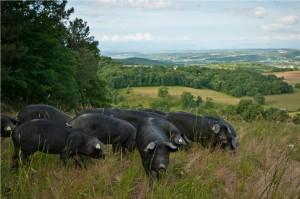 porc noir de Bigorre r34_9_20110601marmer_s4496-2