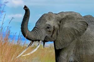 African Elephant. Photo credit: Muhammad Mahdi Karim