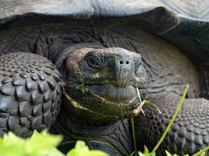 chelonoidis-donfaustoi-galapagos-tortoise