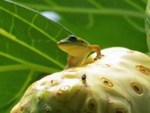 Kona Salamander