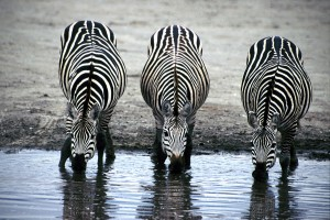 Three Zebras Drinking