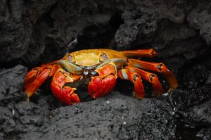 grapsus_grapsus_galapagos_islands-public-domain