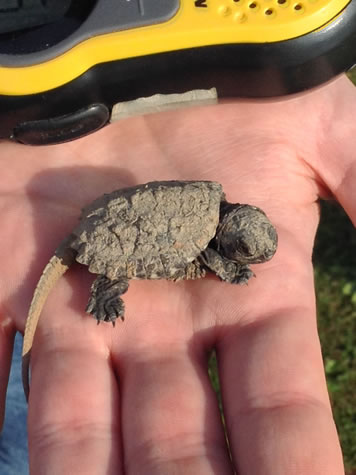 juvenile snapping turle