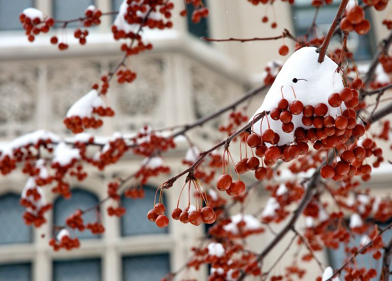 Winter on campus - A tree with red berries, covered in snow